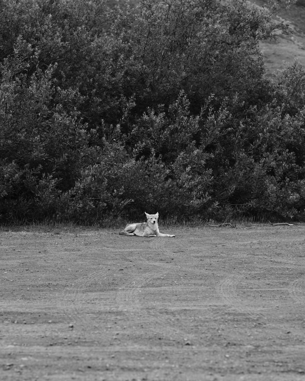 Coyote indifferent to human presence. California 2020