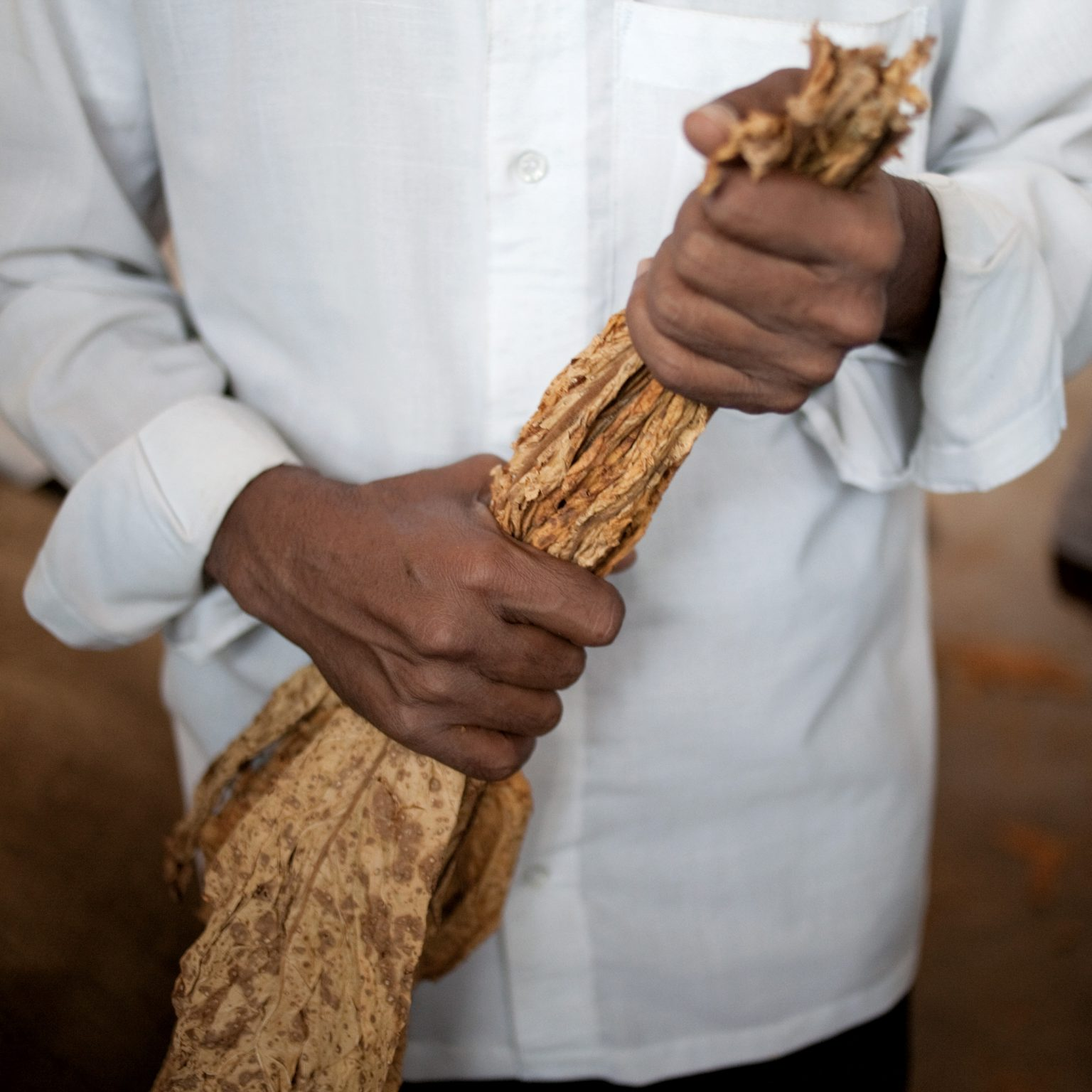 Periyapatna, India. A farmer holding 1st-grade tobacco leaves during the Tobacco Board Periyapatna auction. Today, tobacco prices range between 52 and 130 rupies/kg (1,1-2,8 US$/kg). When dealers and tobacco companies buy a tobacco stock from a farmer, this is given an invoice and will be paid, directly in the bank, after 2 weeks. Only regularly licensed farmers can participate to the auctions. In this region, ITC usually purchases 50% of the auctioned tobacco, while the rest is sold to JPI and other big buyers.