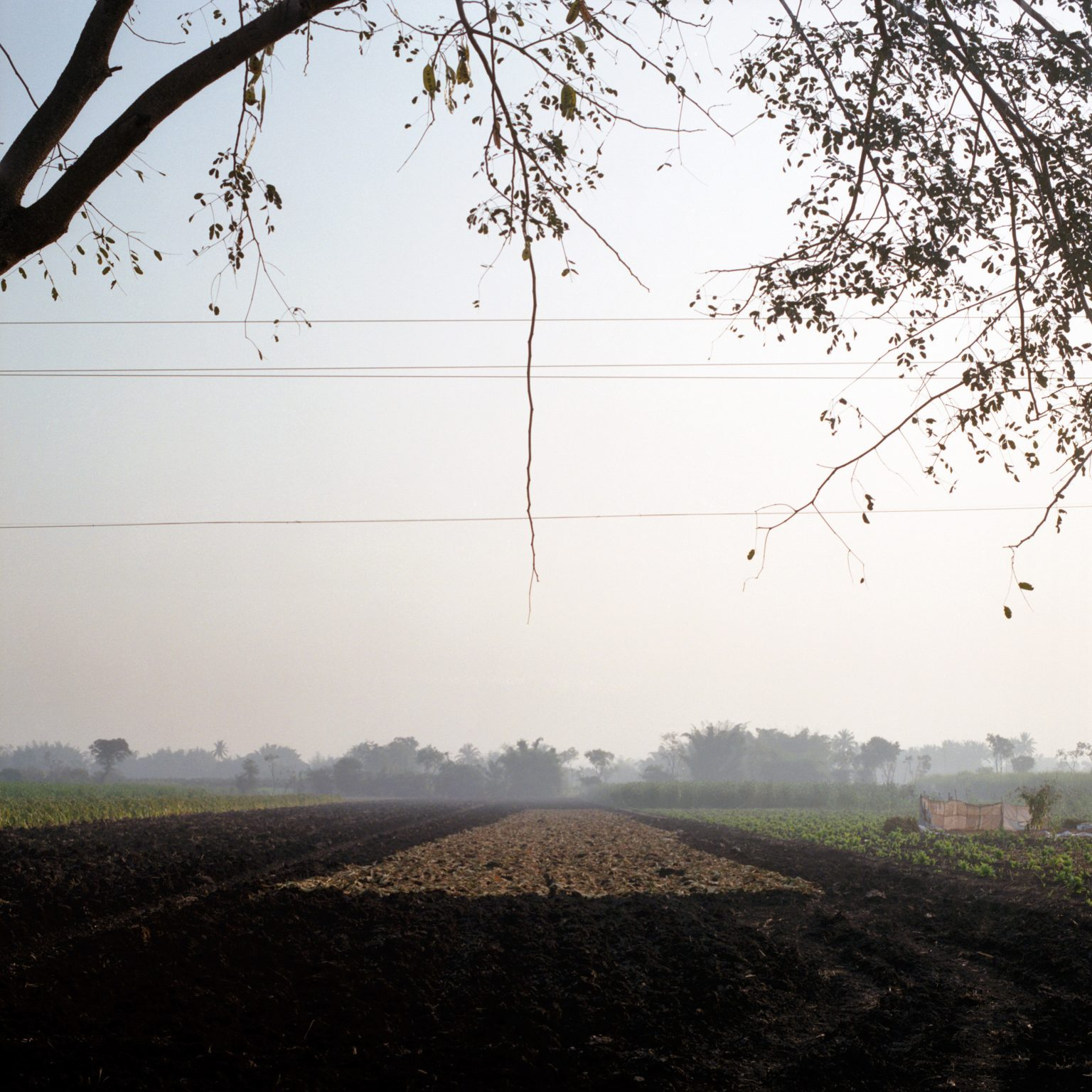 Harvested tobacco is drying in the fields. In Nipani, almost 70% of tax revenues derive from bidi tobacco. Here, 13000 ha are cultivated with bidi tobacco and 20000 people work as bidi rollers, contributing to 20% of India's bidi tobacco production. In India, some two million people are engaged in leaf collection and 4.4 million people employed directly in bidi rolling. The informal, cottage-linked nature of this industry prevents workers from being organized in large, poweerful unions.  In addition, bidi tobacco is not regulated by any governmental institution and prices are controlled only by dealers. For these reasons, bidi tobacco is less remunerative for farmers than the Virginia flue-cured variety, used for cigarettes. © Rocco Rorandelli