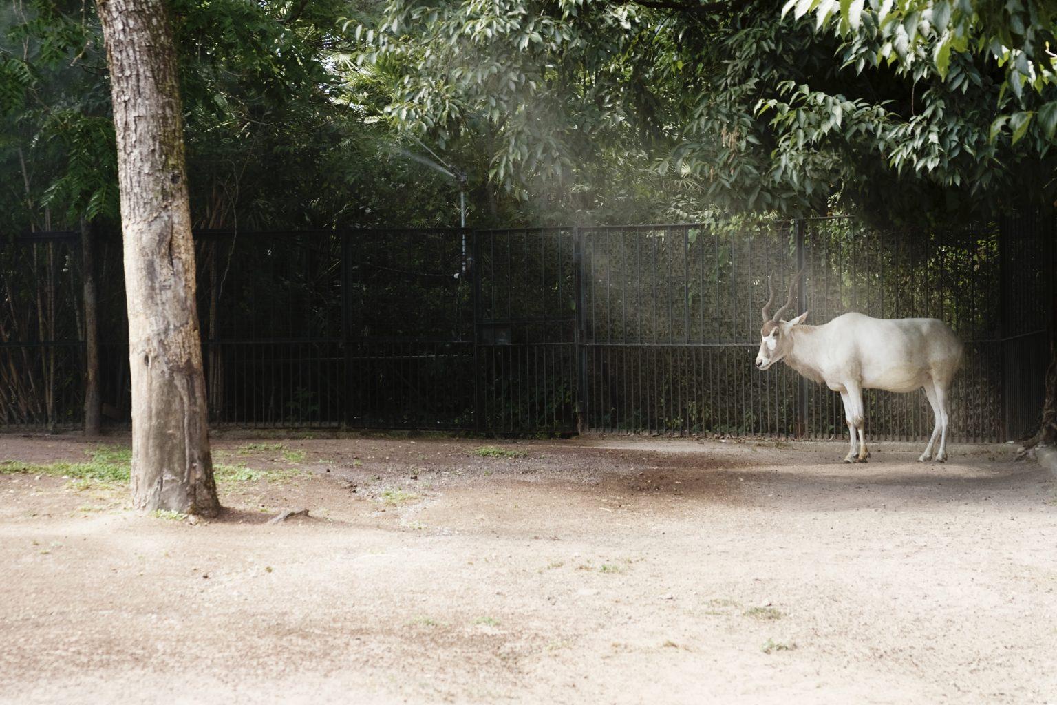 Rome, June 2011 - Bioparco, zoological garden, addax. >< Roma, giugno 2011 - Bioparco, giardino zoologico, addax.