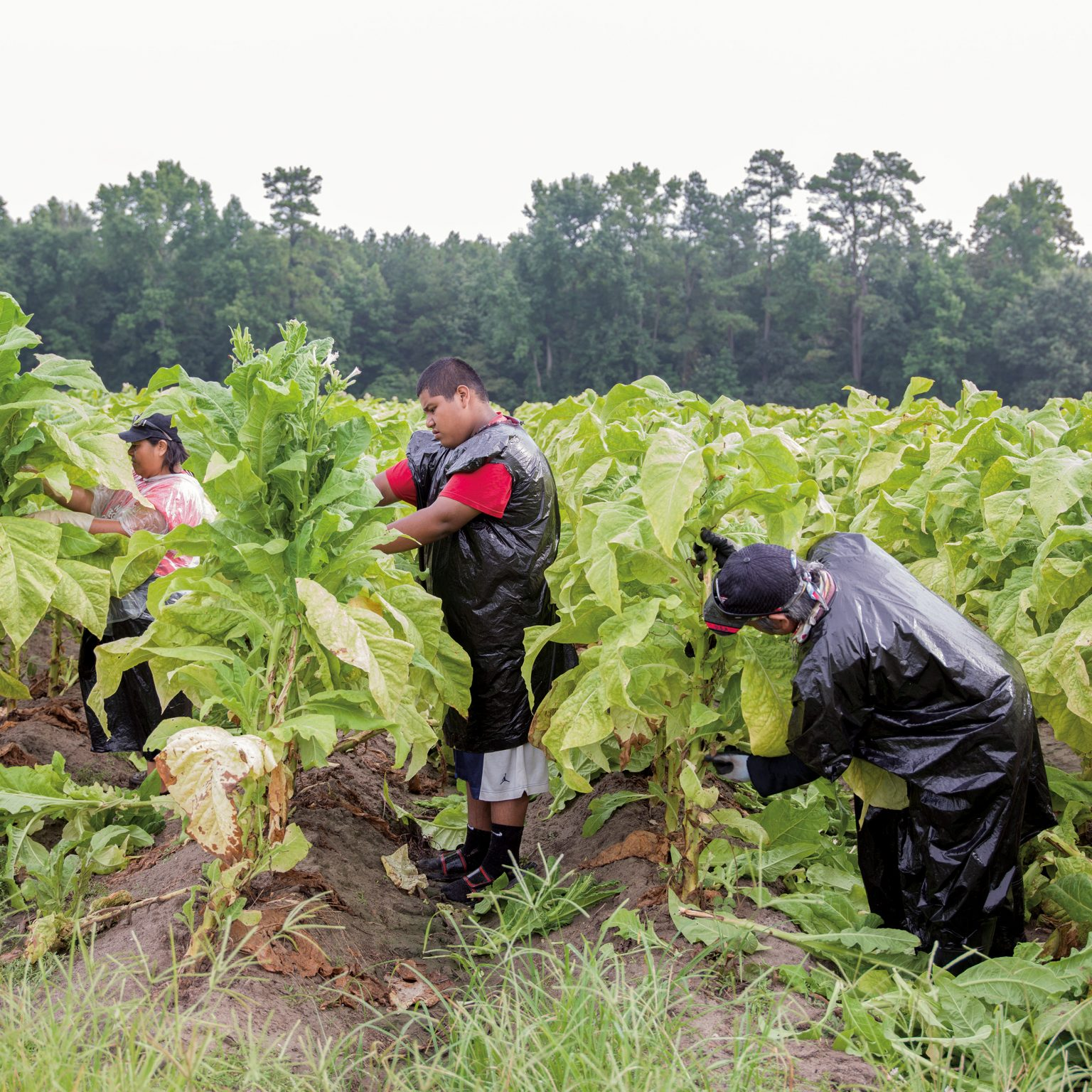 """Near Goldsboro, N.C., USA. MIguel, 14 years old, in a tobacco field on a early Sunday morning. He works 12 to 13 hours per day, every day, earning 7,85 USD per hour. Both his parents work in tobacco. He works only in the summer in order to help his parents sending him and his two sisters to school. Advocates who study migrant farm worker families estimate that as many as a half million of children currently work in US farms. Many of these children are working legally under a loophole in U.S. child labor laws. Federal law provides no minimum age for work on small farms with parental permission, and children over 12 may work for hire outside school hours. Under federal law, child farmworkers can also do jobs at 16 that the U.S. Department of Labor considers  """"particularly hazardous"""" for children. In addition, legislation does not take into account the risks posed specifically by tobacco farming. Handling tobacco leaves causes the transderming absorption of high doses of nicotine, an equivalent of 12 cigarettes a day, 36 on a humid day, causing Green Tobacco Sickness. Children, with their small body mass, present lower intoxication threshold for both nicotine and chemicals used in tobacco farming."""