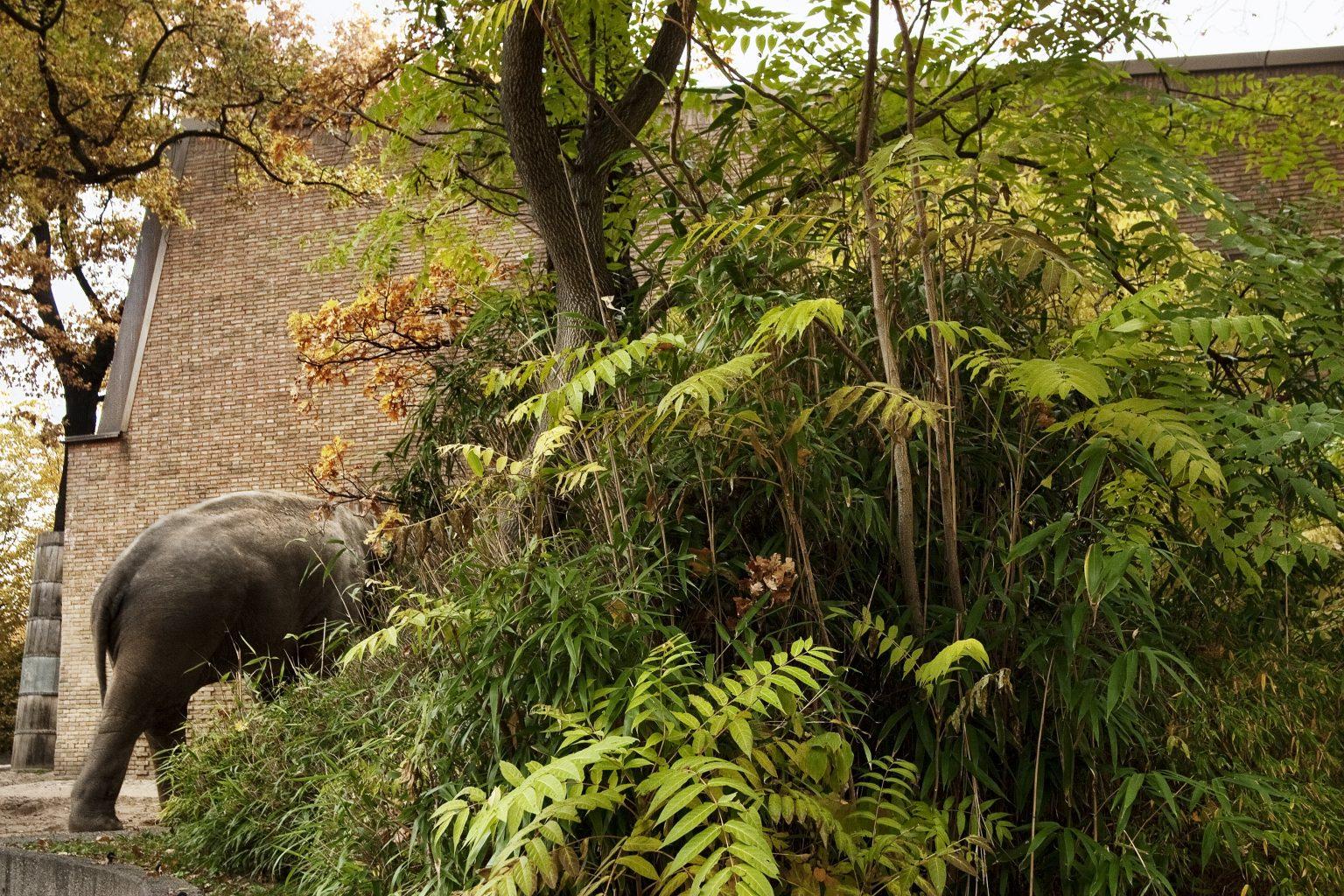 Berlin, October 2010 - zoological garden, Asian elephant. >< Berlino, ottobre 2010 - giardino zoologico, elefante asiatico.