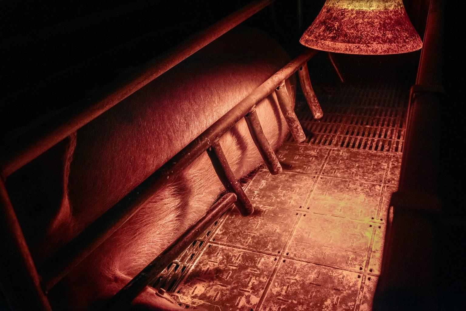 A sow in her suckling cage. She will be there with her babies for about 28 days. Emilia Romagna. January 2017.  Una scrofa nella sua gabbia di allattamento. Resterà li con i suoi piccoli per circa 28 giorni. Emilia Romagna. Gennaio 2017.