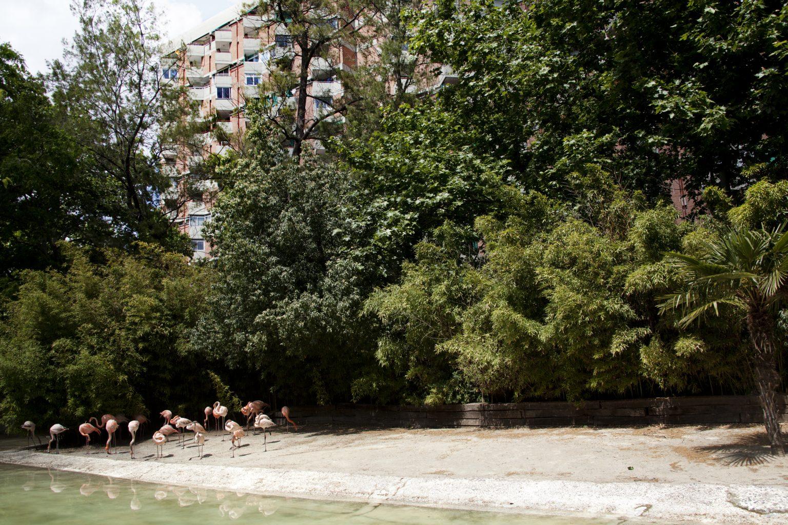 Barcelona, May 2013 - zoological garden, common flamingos. >< Barcellona, maggio 2013 - giardino zoologico, fenicotteri.