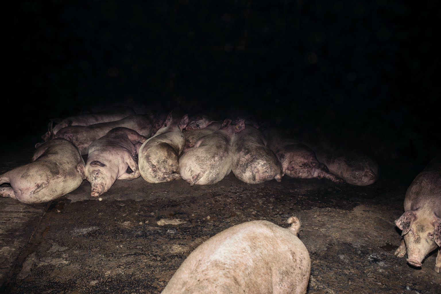 The interior of a fattening pig farm. Emilia Romagna. October 2017.  L'interno di un allevamento di suini da ingrasso. Emilia Romagna. Ottobre 2017.