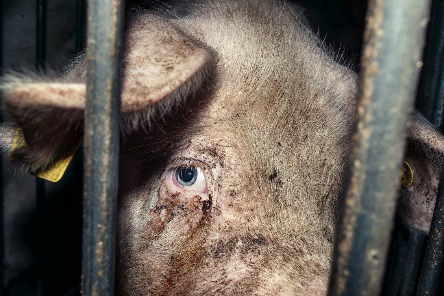 A sow in a gestation cage. Emilia Romagna. November 2016.  Una scrofa in una gabbia di gestazione. Emilia Romagna. Novembre 2016.