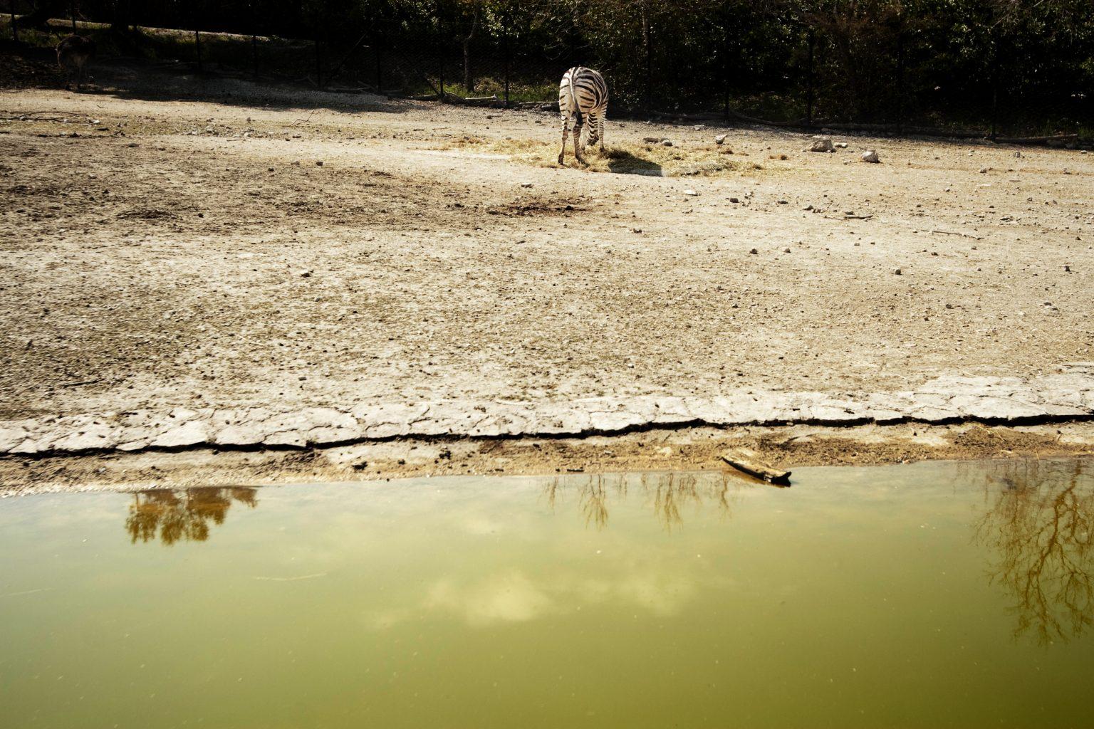 Falconara Marittima (Ancona - Italy), March 2012 - Parco Zoo Falconara (zoological garden), zebra. >< Falconara Marittima (Ancona ), marzo 2012 - Parco Zoo Falconara (giardino zoologico), zebra.