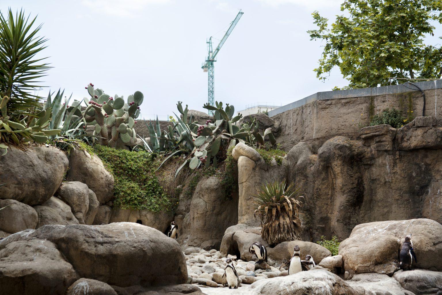 Barcelona, May 2013 - zoological garden, Humboldt penguins. >< Barcellona, maggio 2013 - giardino zoologico, pinguini di Humboldt.