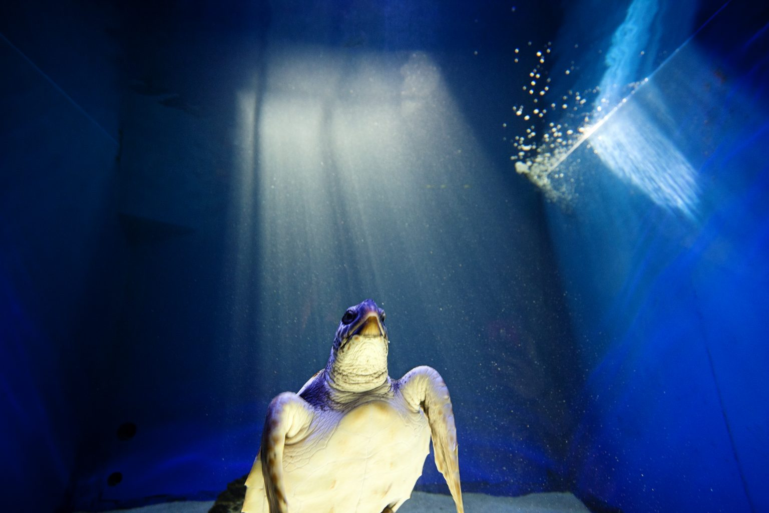 Cattolica (Italy), April 2013 - aquarium, Loggerhead sea turtle. >< Cattolica, aprile 2013 - acquario, tartaruga caretta caretta.