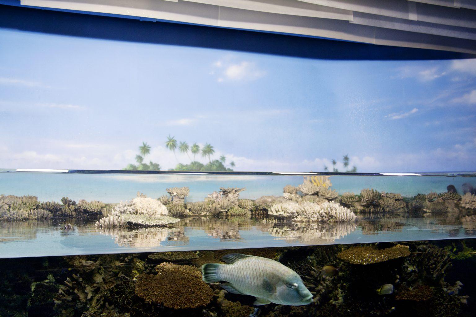 Barcelona, May 2013 - aquarium, Humphead wrasse. >< Barcellona, maggio 2013 - acquario, pesce Napoleone.