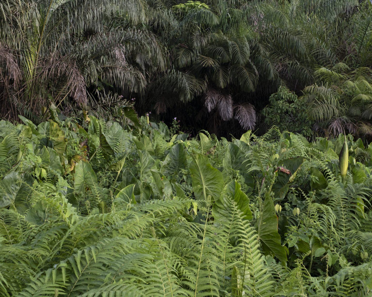 Northwestern Liberia, October 2019 - The equatorial forest. >< Liberia nord-occidentale, ottobre 2019 - La foresta equatoriale.