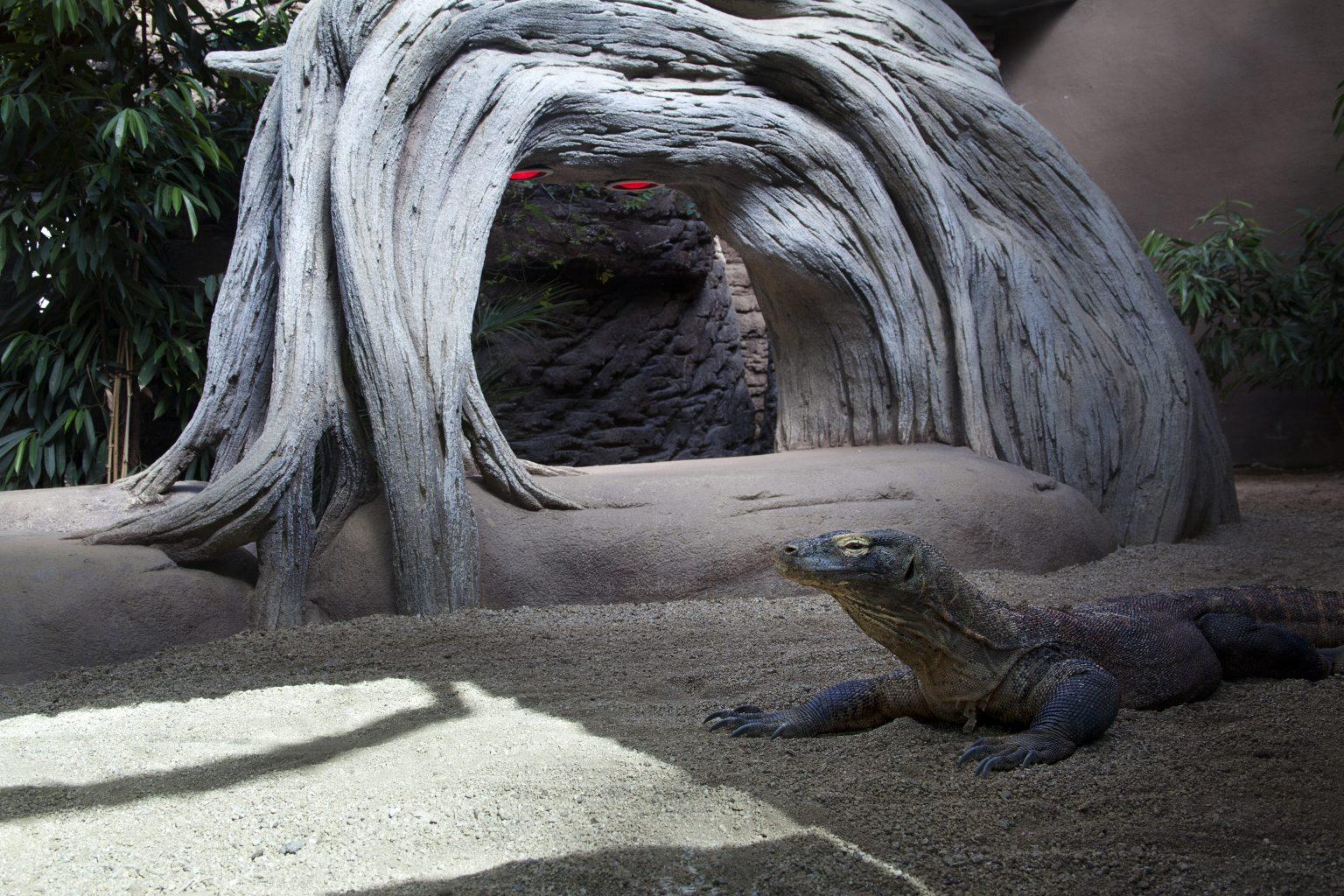 Barcelona, May 2013 - zoological garden, Komodo dragon. >< Barcellona, maggio 2013 - giardino zoologico, drago di Komodo.