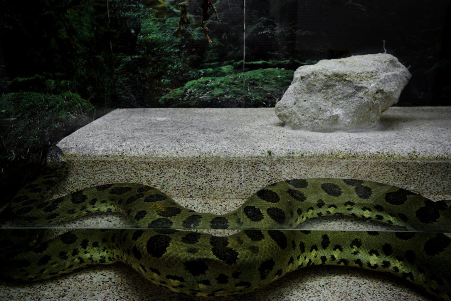 Belgrade, August 2012 - zoological garden, snake. >< Belgrado, agosto 2012 - giardino zoologico, serpente.