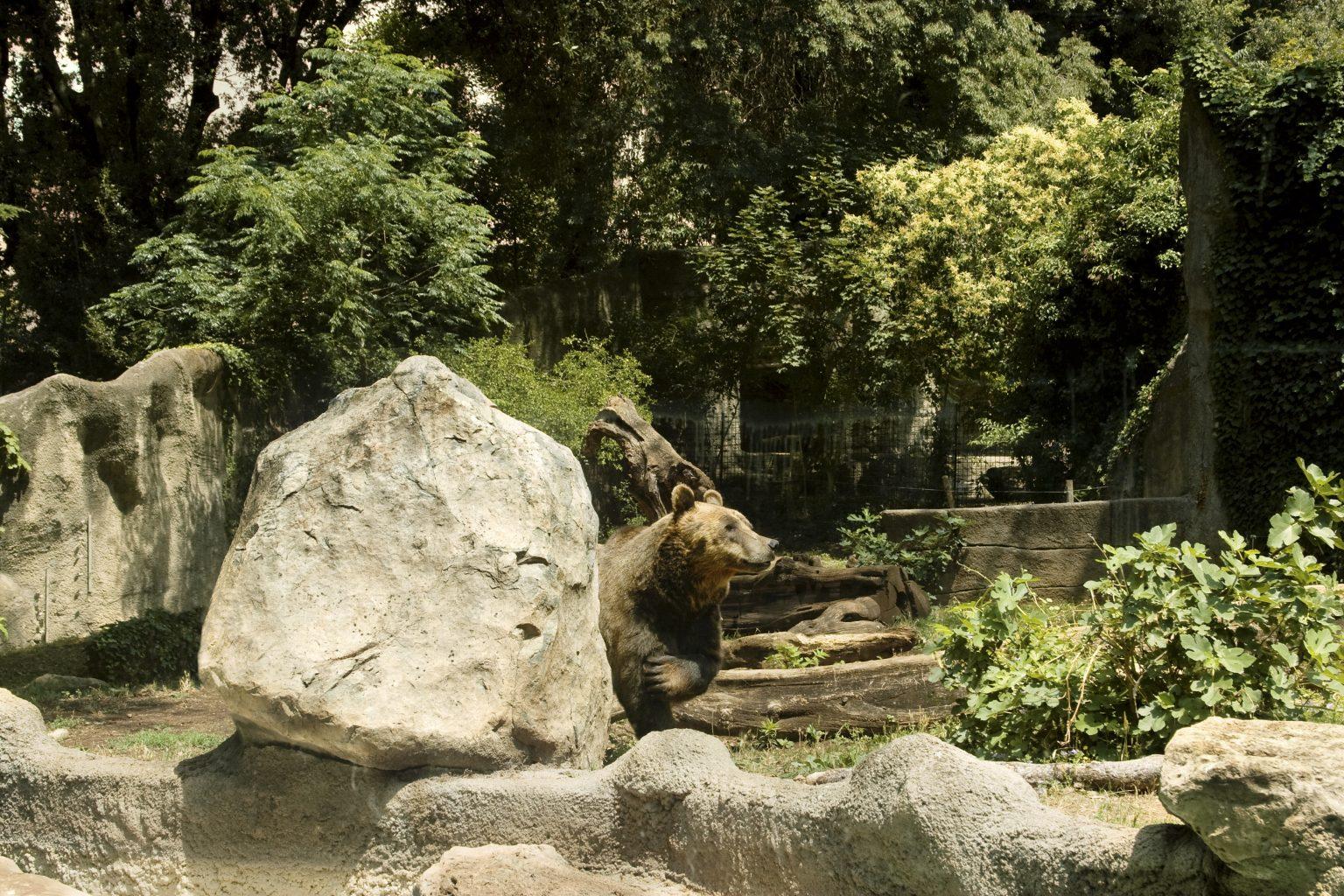 Rome, June 2011 - Bioparco, zoological garden, brown bear. >< Roma, giugno 2011 - Bioparco, giardino zoologico, orso bruno.