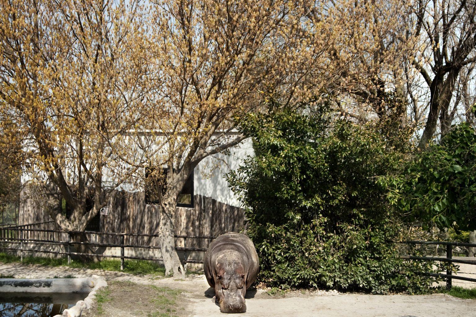 Falconara Marittima (Ancona - Italy), March 2012 - Parco Zoo Falconara (zoological garden), hippopotamus. >< Falconara Marittima (Ancona ), marzo 2012 - Parco Zoo Falconara (giardino zoologico), ippopotamo.