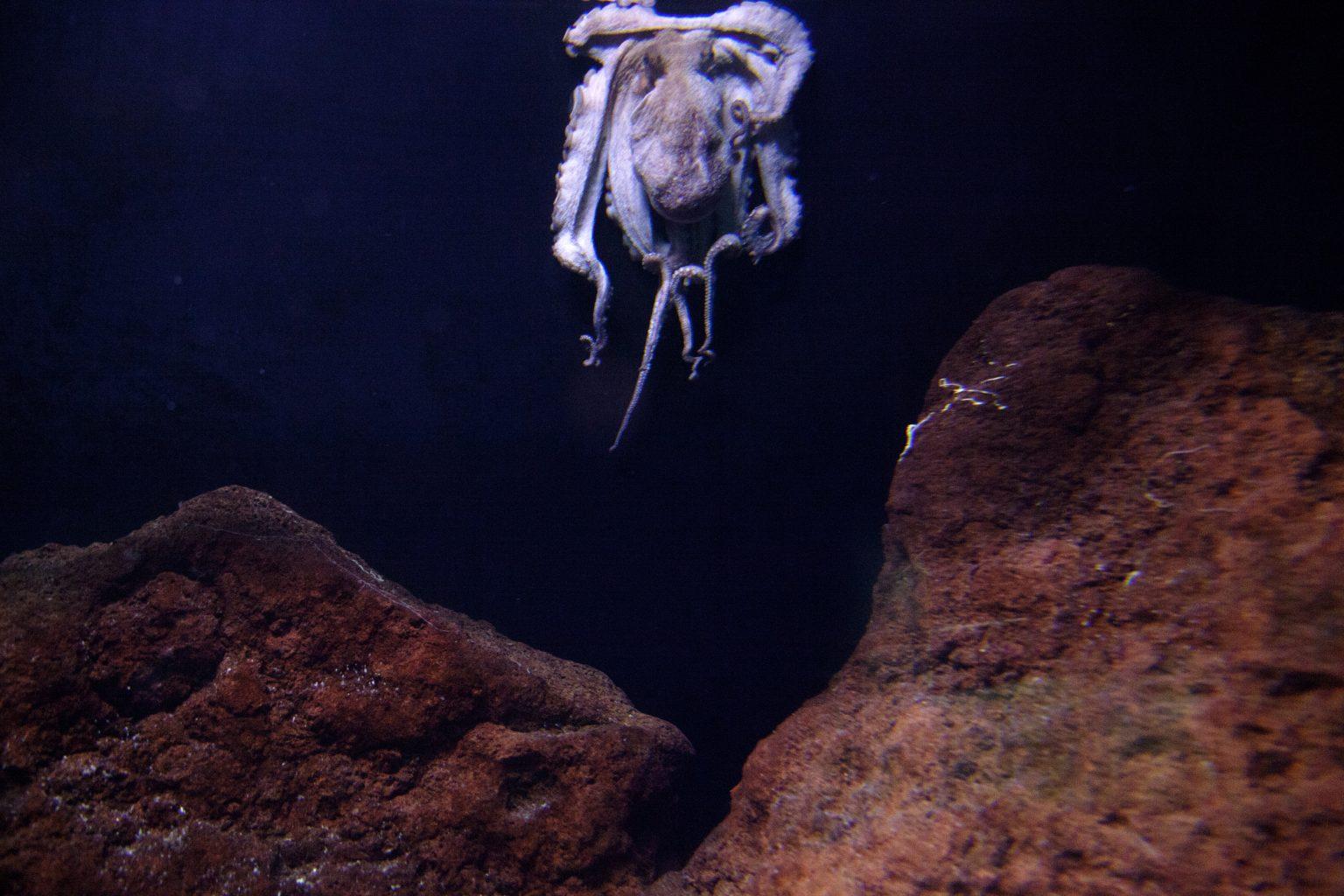 Barcelona, May 2013 - aquarium, common octopus. >< Barcellona, maggio 2013 - acquario, polipo.