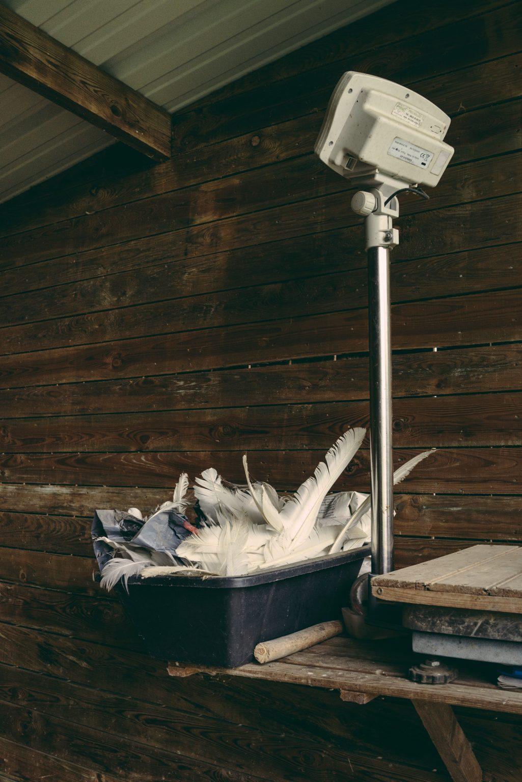 Archigny, France, May 2019 - Collection of swan feathers in the cabin where the birds are weighed and fed. ><  Archigny, , Francia, maggio 2019 - Raccolta di piume di cigno nella cabina dove gli uccelli vengono pesati e nutriti.*** SPECIAL   FEE   APPLIES *** *** Local Caption *** 01489354