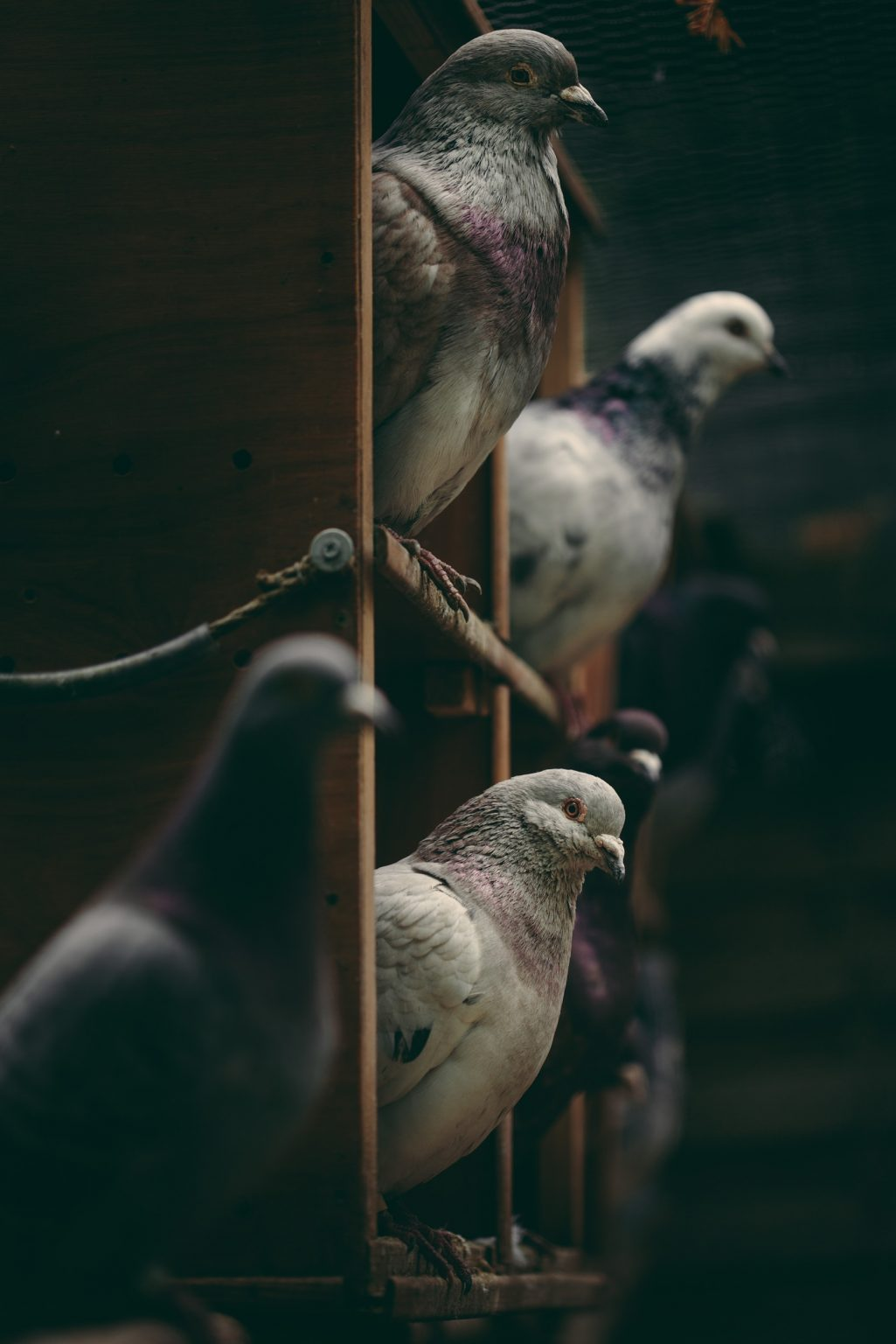 Bonneuil-Matours, France, May 2017 - La Maison Neuve, The pigeons live all together in a large aviary. There is, among them, a strong group hierarchy, although some dominant relationships vary over time as well as the sexual orientations of individuals. ><  Bonneuil-Matours, Francia, maggio 2017 - I piccioni vivono tutti insieme in una grande voliera. Tra di loro c'è una forte gerarchia di gruppo, anche se alcune relazioni dominanti variano nel tempo così come gli orientamenti sessuali degli individui.*** SPECIAL   FEE   APPLIES *** *** Local Caption *** 01489357