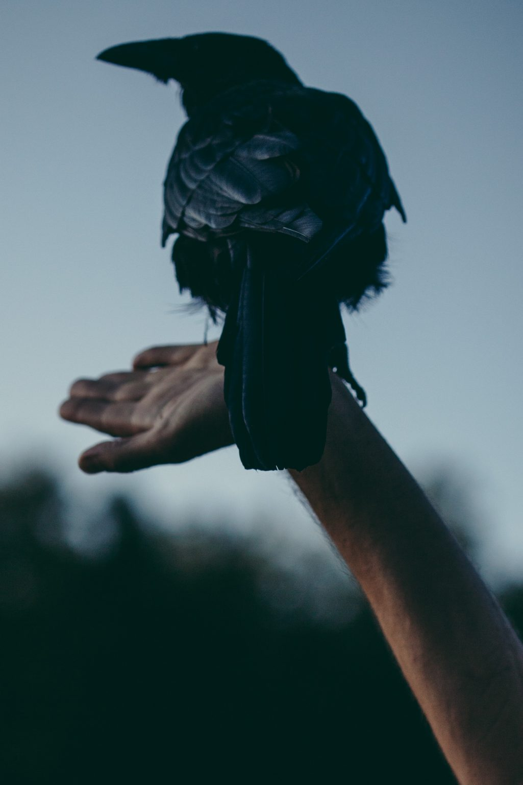 Valdivienne, France, August 2019 - At sunset, in the field behind the new house, the crow Bayo plays with Tristan. ><  Valdivienne, Francia, agosto 2019 - Al tramonto, nel campo dietro la nuova casa, la cornacchia Bayo gioca con Tristan Plot.*** SPECIAL   FEE   APPLIES *** *** Local Caption *** 01489355