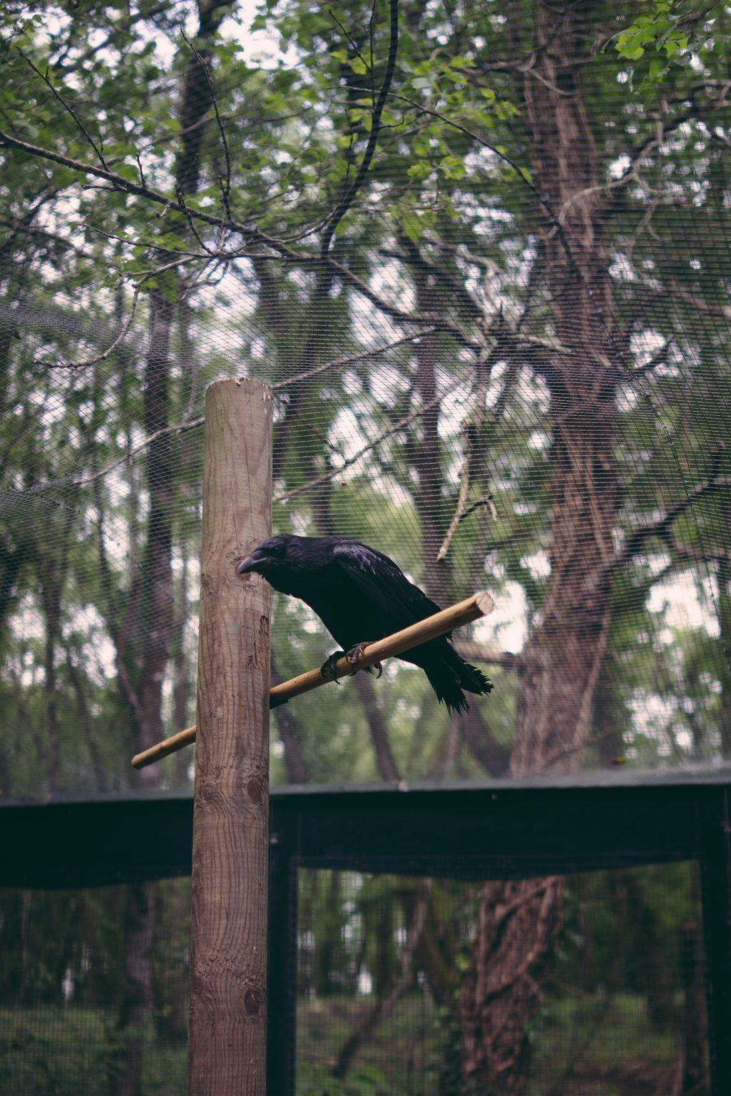 """Valdivienne, France, May 2019 - The crow Bayo has a strong individuality, when he walks on the ground he looks like a naughty little boy with his hands in his pockets, when he is tired and wants to go home he opens the carrier door by himself by kicking it with his paw. Bayo smells different from other birds, he smells of earth and ink. His name comes from the french way of saying """"Bayer aux corneilles"""", or yawning at the crows, standing needlessly open-mouthed looking at the sky. >< Valdivienne, Francia, maggio 2019 - La cornacchia Bayo ha una forte individualità, quando cammina a terra sembra un ragazzino irriverente con le mani in tasca, quando è stanco e vuole tornare a casa apre la porta del trasportino da solo dandogli un calcio con la zampa. Bayo ha un odore diverso dagli altri uccelli, odora di terra e di inchiostro. Il suo nome deriva dal modo francese di dire """"Bayer aux corneilles"""", ovvero sbadigliare alle cornacchie, stare inutilmente a bocca aperta a guardare il cielo.*** SPECIAL   FEE   APPLIES *** *** Local Caption *** 01489350"""