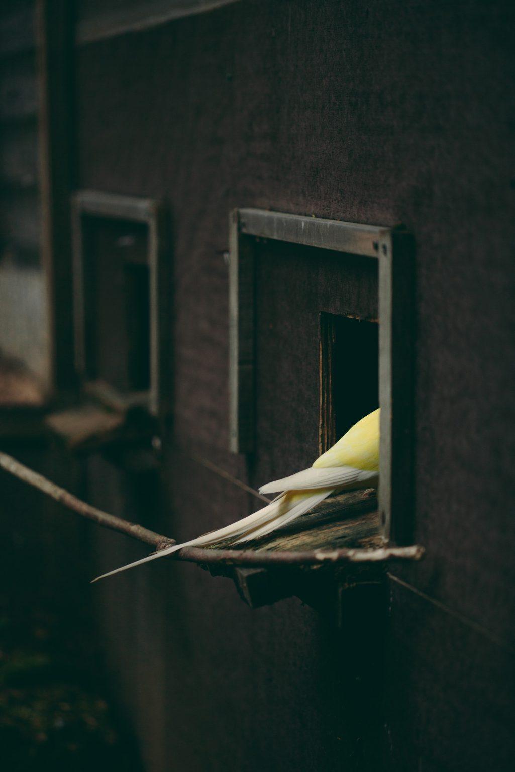 Bonneuil-Matours, France, May 2017 - La Maison Neuve. The yellow plumage of Belle-bête is an anomaly in the world of ring-necked parakeets, which are usually green and blue. She lives together with two cockatiels, with which she has fluctuating dominance relationships. >< Bonneuil-Matours, Francia, maggio 2017 - La Maison Neuve. Il piumaggio giallo di Belle-bête è un'anomalia nel mondo dei parrocchetti dal collare, che di solito sono verdi e blu. Vive insieme a due calopsiti, con i quali ha rapporti di dominanza fluttuanti.*** SPECIAL   FEE   APPLIES *** *** Local Caption *** 01489345