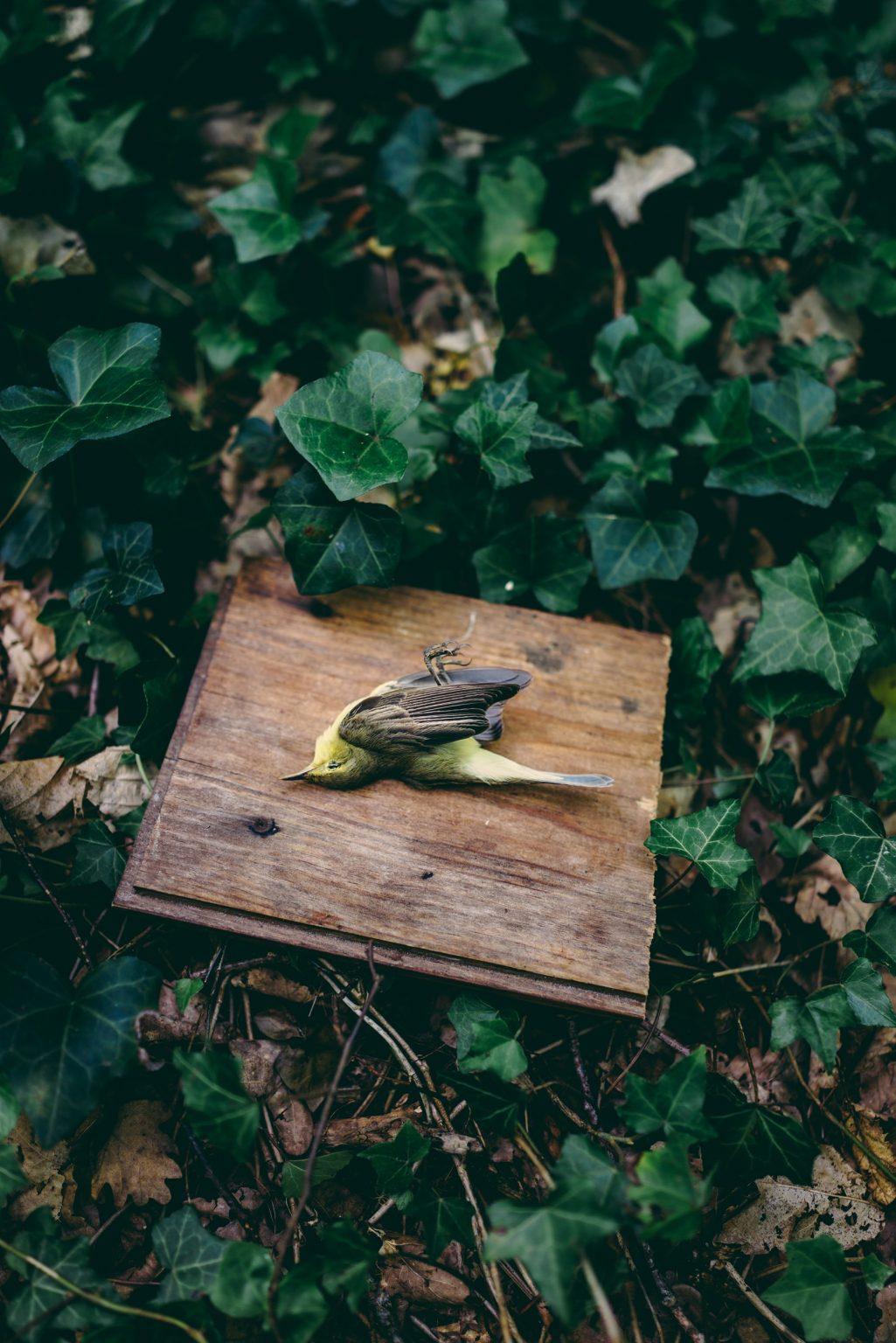 Valdivienne, France, May 2018 - A little bird found dead in the village by a friend of Tristan Plot. >< Valdivienne, Francia, maggio 2018 - Un uccellino trovato morto in paese da un amico di Tristan Plot.*** SPECIAL   FEE   APPLIES *** *** Local Caption *** 01489342