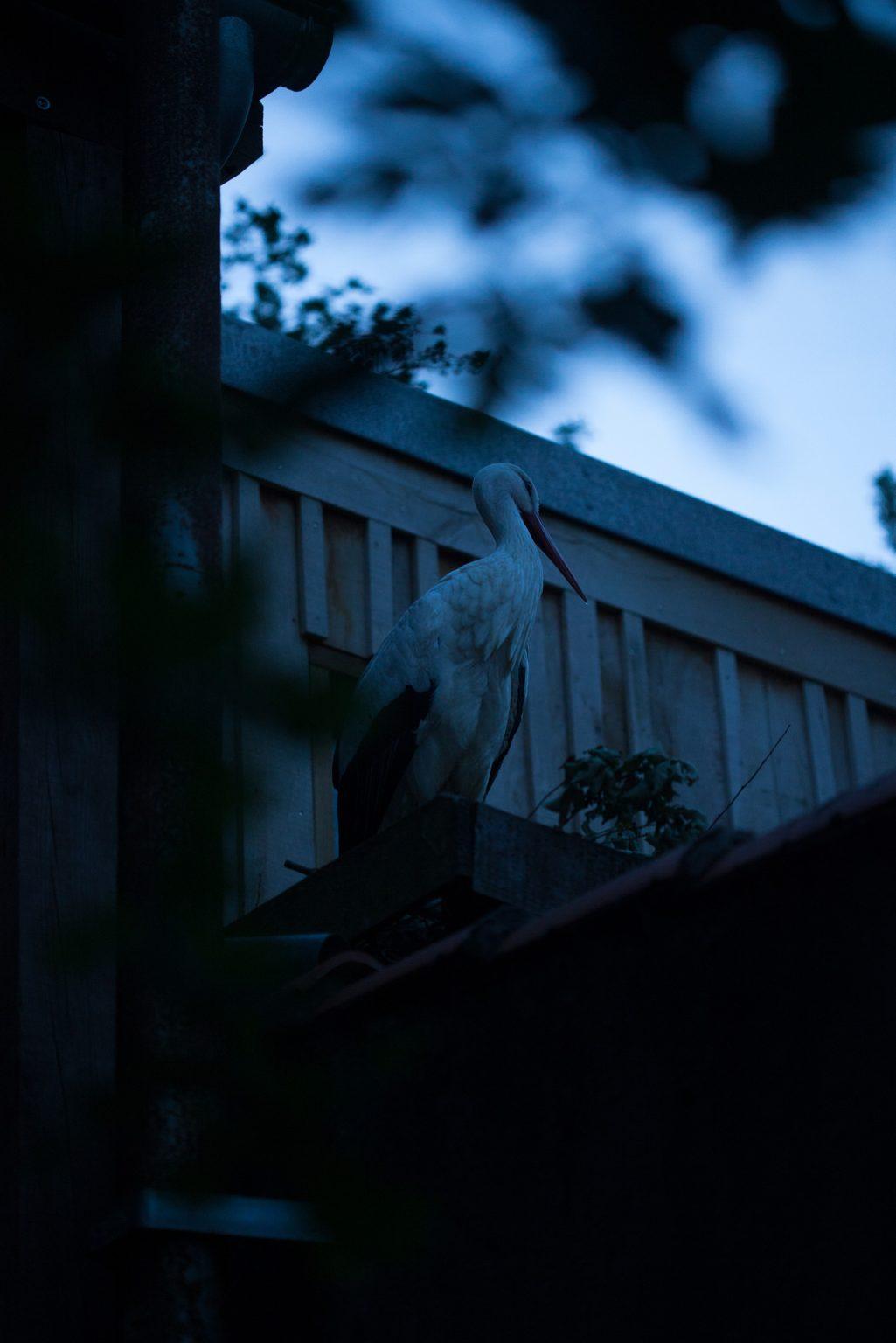 Valdivienne, France, May 2019 - The white stork Mildred at nightfall in her new nest on the roof. ><  Valdivienne, Francia, maggio 2019 - La cicogna bianca Mildred al calar della notte nel suo nuovo nido sul tetto.*** SPECIAL   FEE   APPLIES *** *** Local Caption *** 01489328