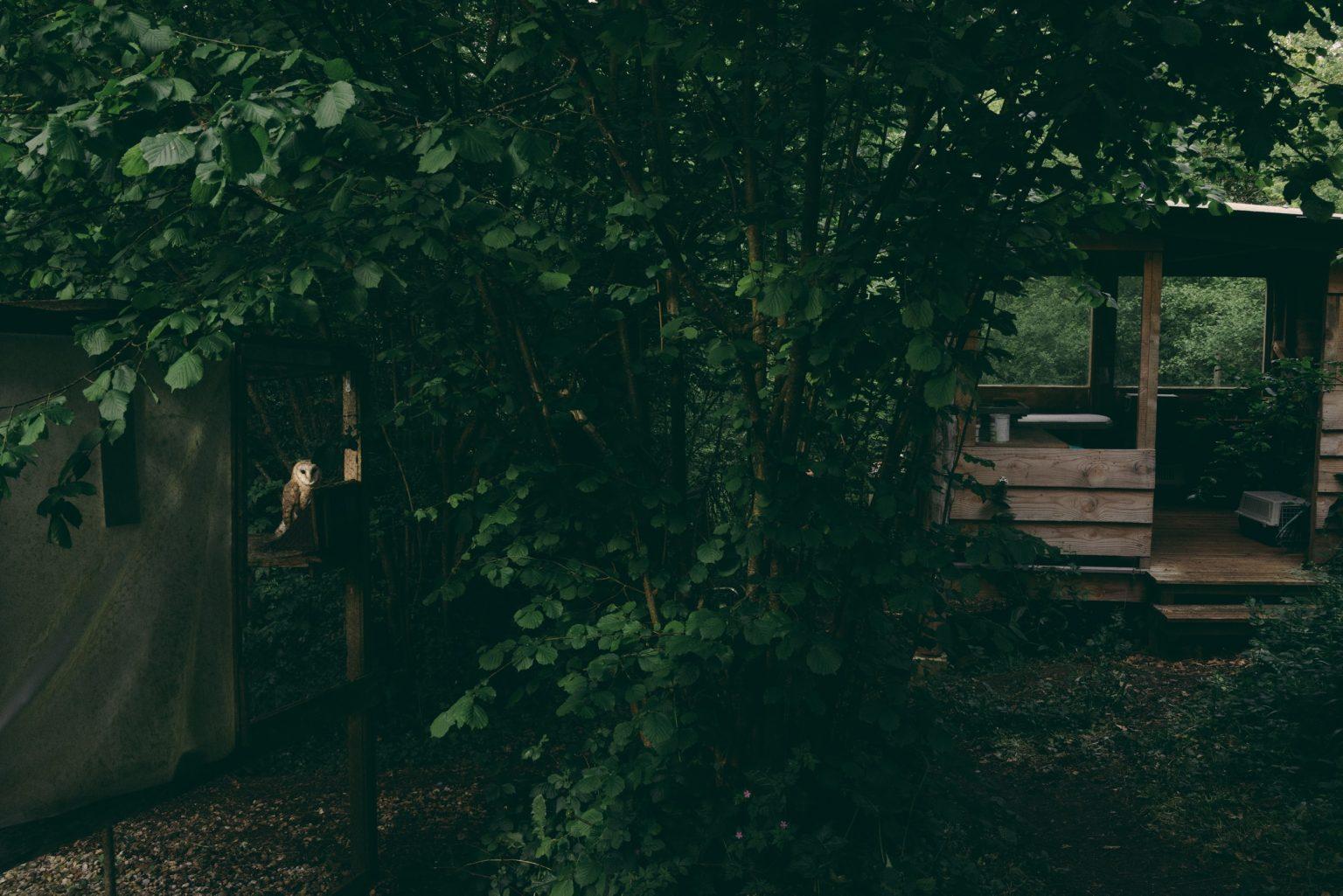 Bonneuil-Matours, France, May 2017 - La Maison Neuve. The barn owl Boubo in his aviary while a sunbeam filters through the forest foliage at sunset. >< Bonneuil-Matours, Francia, maggio 2017 -  La Maison Neuve. Il barbagianni Boubo nella sua voliera mentre un raggio di sole filtra tra le fronde della foresta al tramonto.*** SPECIAL   FEE   APPLIES *** *** Local Caption *** 01489310