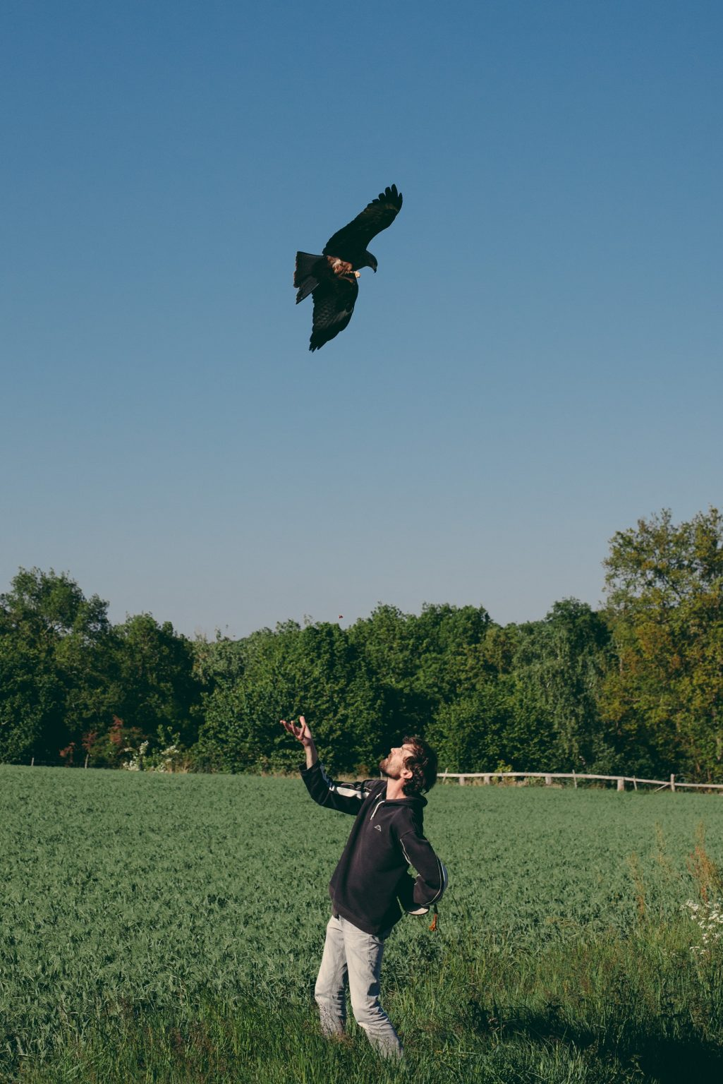 Bonneuil-Matours, France, May 2017 - La Maison Neuve. Tristan Plot plays with the black kite Elypse in flight. ><  Bonneuil-Matours, Francia, maggio 2017 -  La Maison Neuve. Tristan Plot gioca con il nibbio nero Elypse in volo.*** SPECIAL   FEE   APPLIES *** *** Local Caption *** 01489311
