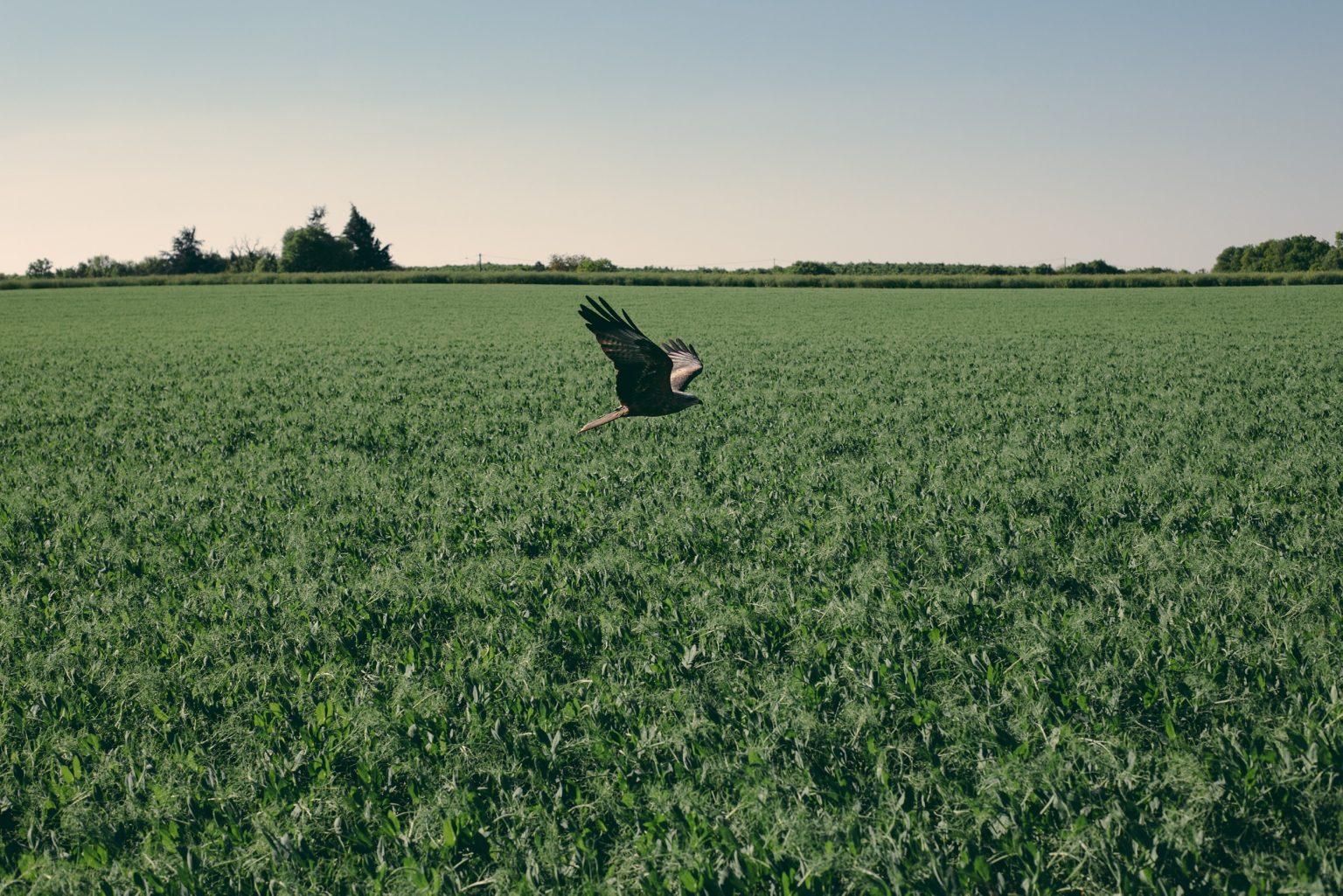 Bonneuil-Matours, France, May 2017 - La Maison Neuve. The black kite Elypse flies below the horizon line in the countryside around Tristan's former home. ><  La Maison Neuve, Francia, maggio 2017 -  Il nibbio nero Elypse vola sotto la linea dell'orizzonte nella campagna intorno alla vecchia casa di Tristan.*** SPECIAL   FEE   APPLIES *** *** Local Caption *** 01489303