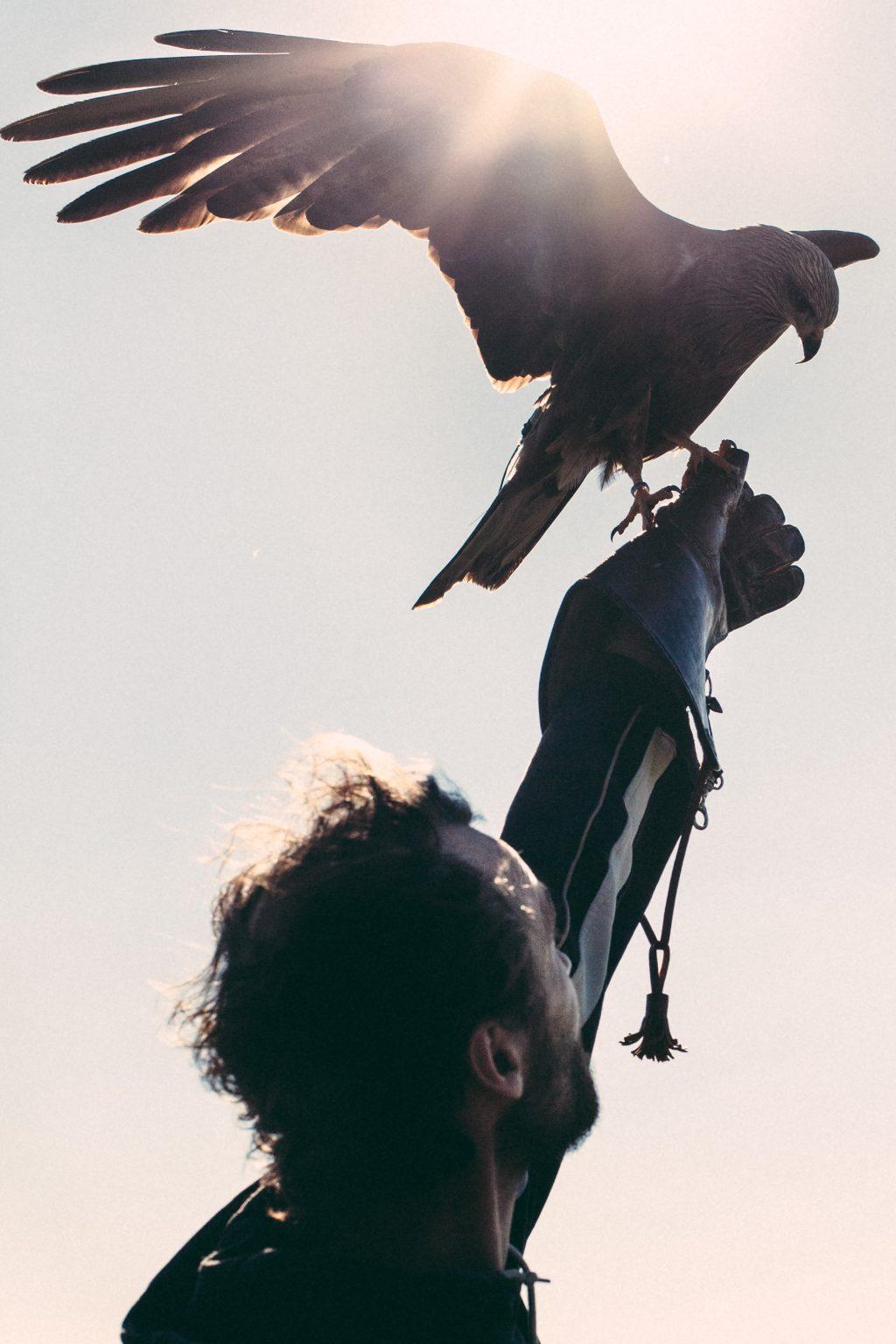 Bonneuil-Matours, France, May 2017 - La Maison Neuve. The black kite Elypse opens his wings to take the boost and fly out of Tristan Plot's glove. The legs are in no way connected to the glove, contrary to the falconers' tradition. >< Bonneuil-Matours, Francia, maggio 2017 - La Maison Neuve. Il nibbio nero Elypse apre le ali per prendere lo slancio e volare dal guanto di Tristan Plot. Le zampe non sono in alcun modo collegate al guanto, contrariamente alla tradizione dei falconieri.*** SPECIAL   FEE   APPLIES ***