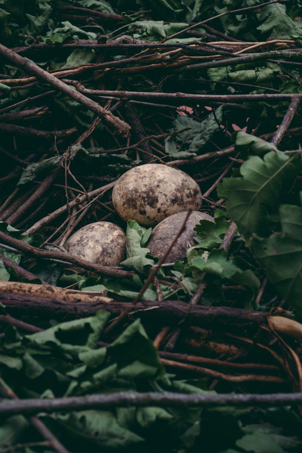 Valdivienne, France, May 2019 - Eggs in Mildred's nest; the stork produces them, but as she has no partner of her own species, the eggs are not fertilised. >< Valdivienne, Francia, maggio 2019 -  Le uova nel nido di Mildred; la cicogna le produce, ma non avendo un partner della sua specie, le uova non vengono fecondate.*** SPECIAL   FEE   APPLIES ***
