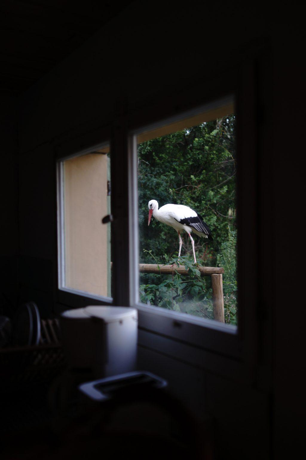 Valdivienne, France, August 2019 - The white stork Mildred seen from the kitchen window of Tristan Plot?s new house. >< Valdivienne, Francia, agosto 2019 -  La cicogna bianca Mildred vista dalla finestra della cucina della nuova casa di Tristan Plot.*** SPECIAL   FEE   APPLIES ***