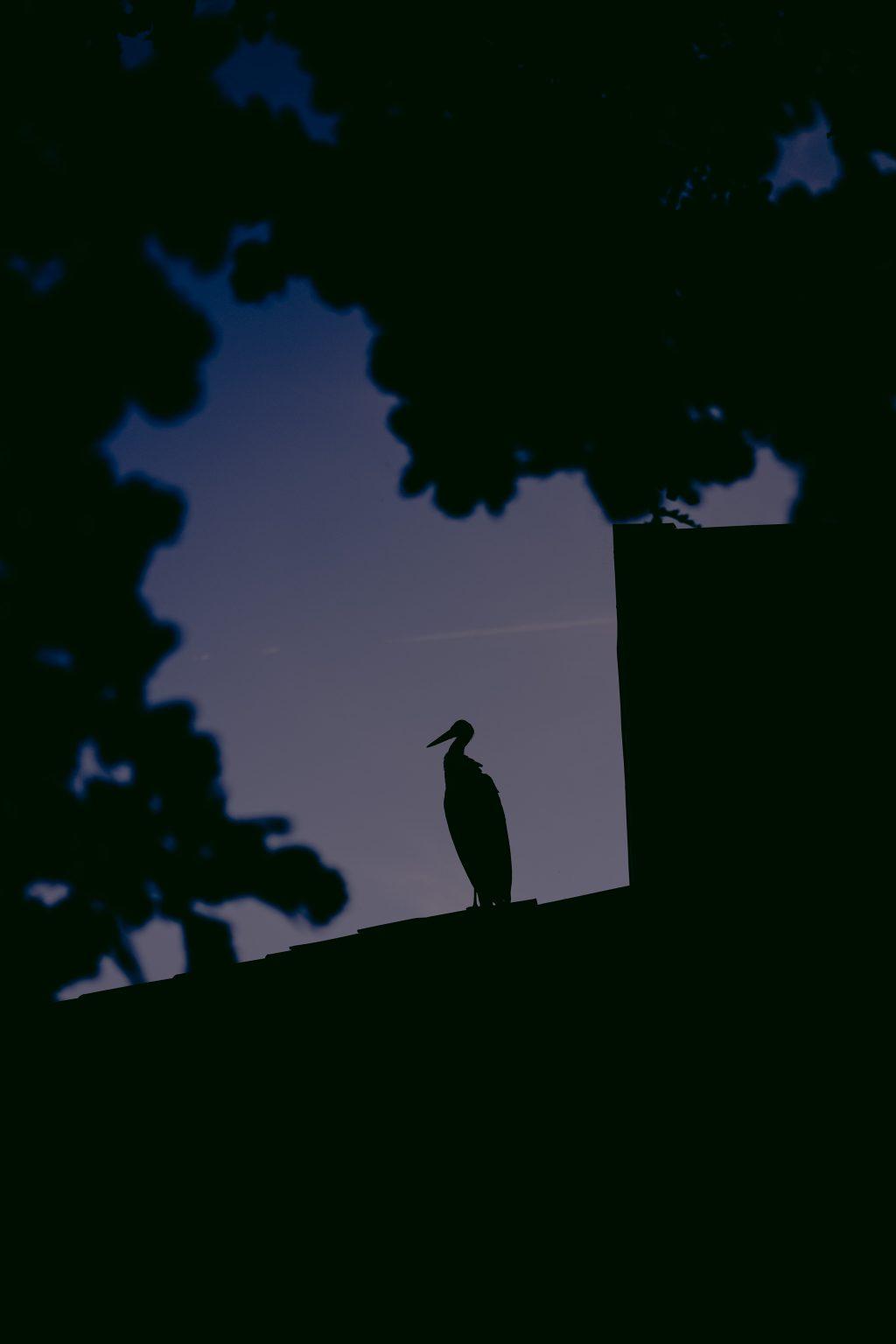Valdivienne, France, August 2019 - The white stork Mildred at night on the roof of Tristan Plot?s new house. >< Valdivienne, Francia, agosto 2019 -  La cicogna bianca Mildred di notte sul tetto della nuova casa di Tristan Plot.*** SPECIAL   FEE   APPLIES ***