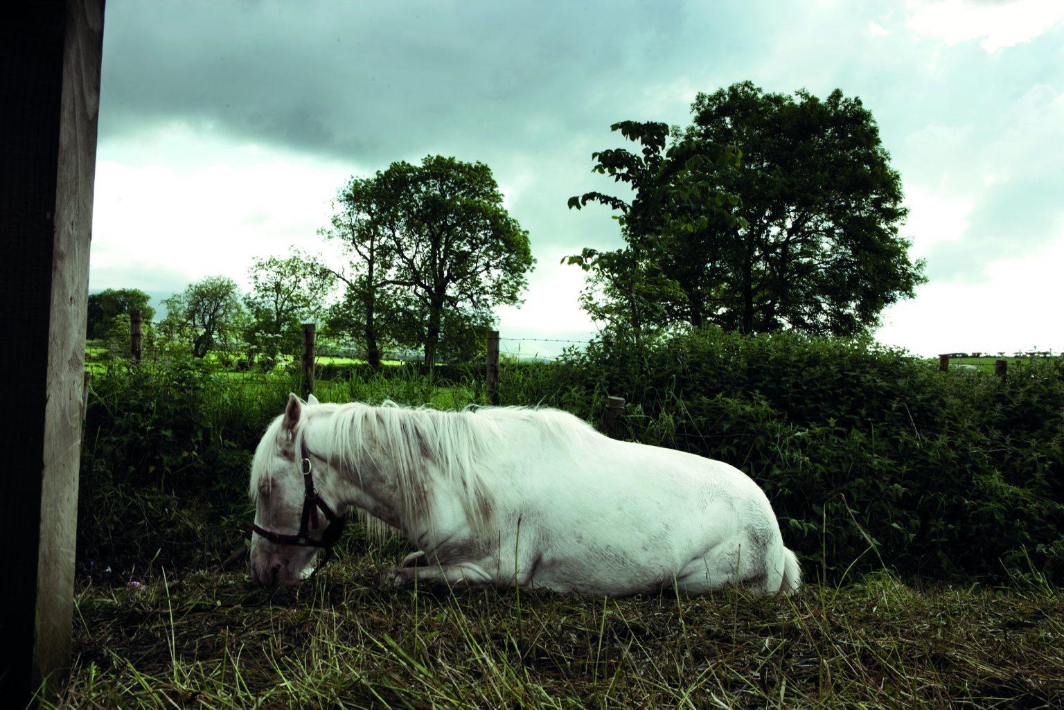Appleby, United Kingdom, June 2012 - Appleby Horse Fair. Horse resting by the race course in the afternoon. ><  Appleby, Regno Unito, giugno 2012 - Appleby Horse Fair. Un cavallo riposa nei pressi del percorso di gara.