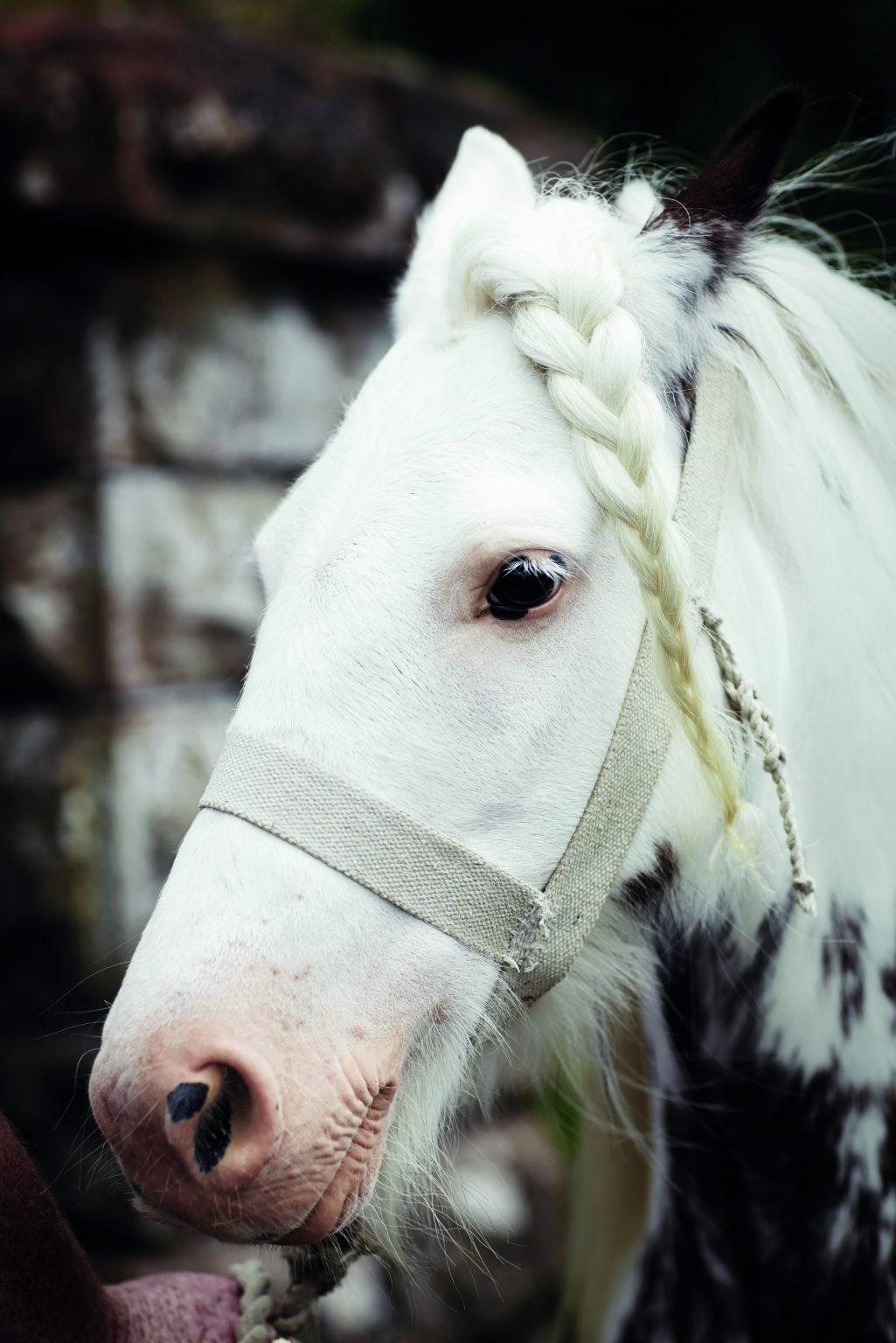 Appleby, United Kingdom, June 2015 - Appleby Horse Fair. The horse Billy Bob with a tress. ><  Appleby, Regno Unito, giugno 2015 - Appleby Horse Fair. Il cavallo Billy Bob con una treccia. *** Local Caption ***