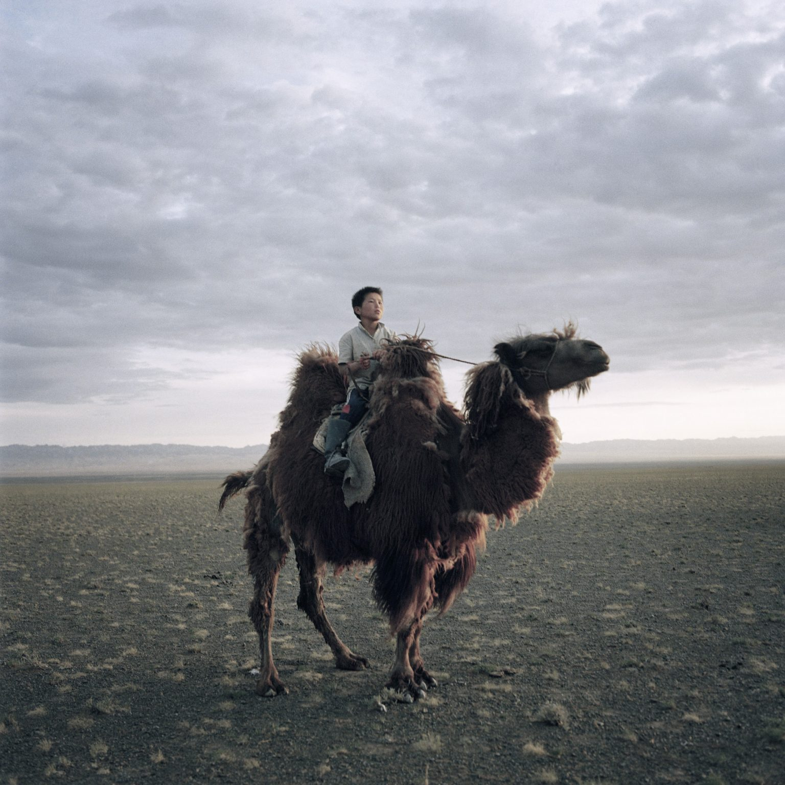Mongolia, Gobi, Omongovi, 2012 Munkhdul  is going to move the camels herd in a better pasture place.