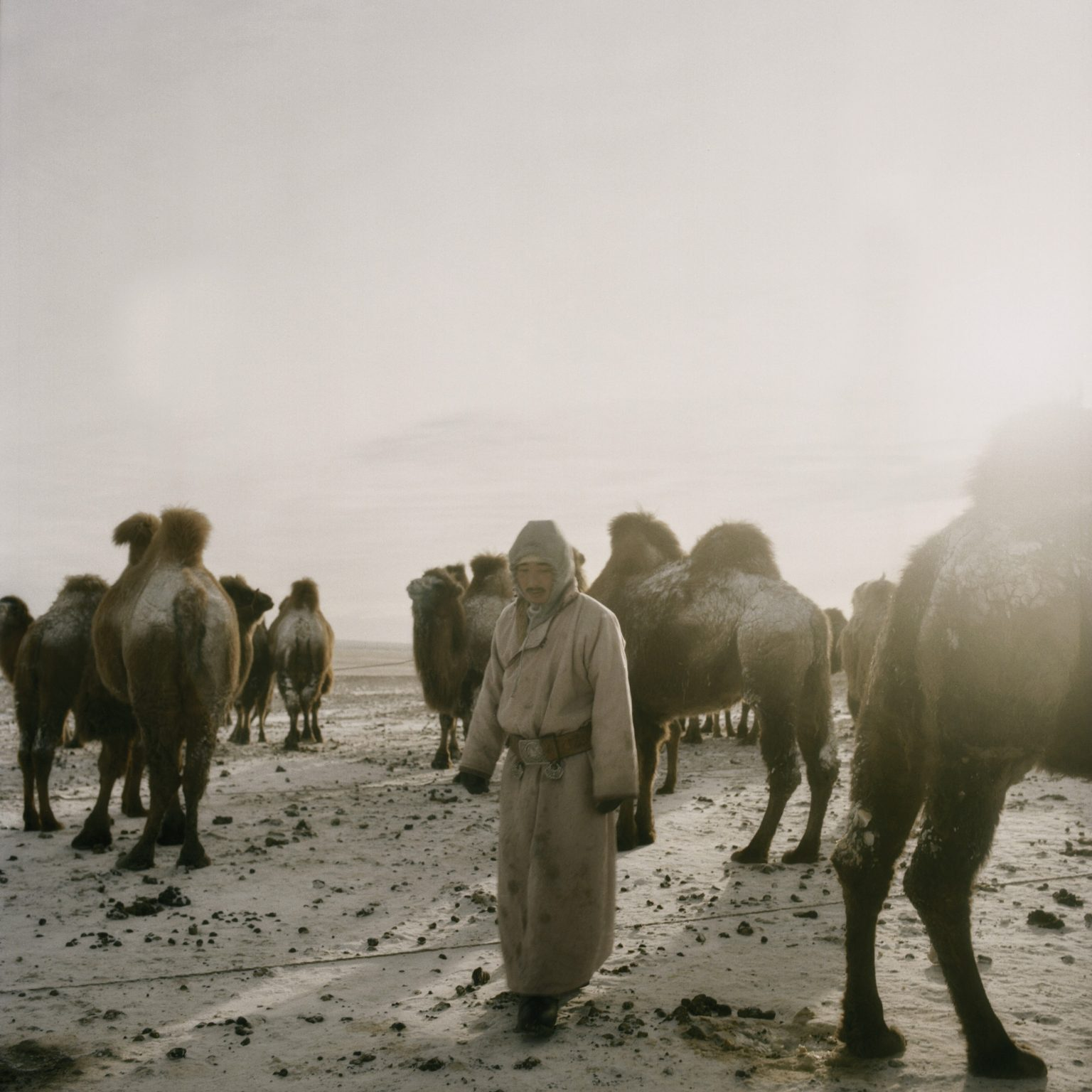 Tuvshinbayar milking the camels before it gets night. The productive life cycle of the nomad families almost totally depends upon the raising and use of camels. Omongov, 2013